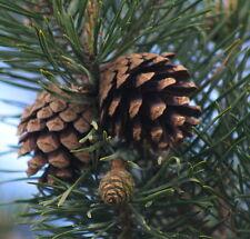 Huile essentielle de Pin Sylvestre pure et naturelle 1 litre
