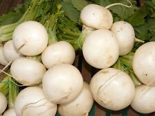 3000 SHOGOIN TURNIP White Japanese Brassica Rapa Root & Greens Vegetable Seeds
