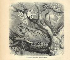 Stampa antica RANA Hyla faber. 1891 Old antique print