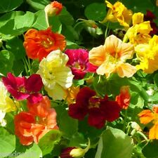 Nasturtium, Jewel Mix Heirloom Seeds - Non-GMO - Untreated - Open Pollinated!