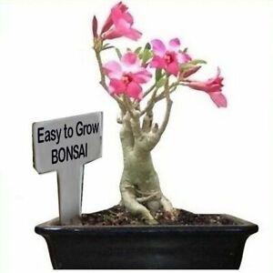 Adenium Obesum- Desert Rose - Self Bonsai Plant Seeds - Easily grown & cared for