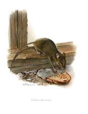 Impression Affiche Histoire Naturelle la Souris Mus Musculus