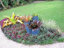 RHOEO ~ 20 baby plants (similar to photo 3) great for borders or as groundcover
