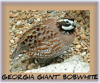 1,000 GEORGIA GIANT BOBWHITE Quail Eggs fertile hatching -hunting conservation