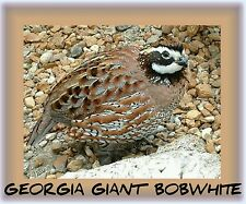 25 PREM GEORGIA GIANT BOBWHITE Quail Eggs fertile hatching PROFITS100%MISSIONS