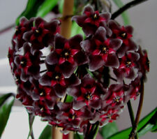 Hoya Wachsblume Porzellanblume Royal Hawaiian Purple Sonderangebot !!