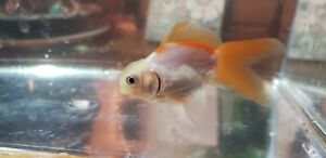 Live orange Oranda-pearlscale Goldfish 2.5 inches sakura