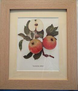 APPLES OF ENGLAND. Framed Vintage Prints, Numerous Species,