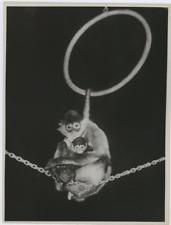 Circus monkey Vintage   Tirage argentique  16x21  Circa 1950