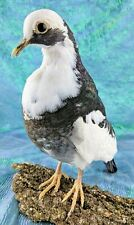 T28d Standing Taxidermy Rock Pigeon bird collectible columba livia collectible