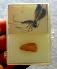 Russia FOSSIL WINGED INSECT in BALTIC AMBER Inclusion / Fossilized DISPLAY CASE