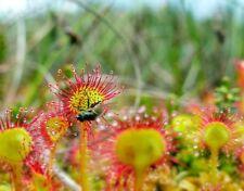 100 Pcs Colorful Drosera Peltata Potted Plant Circular Sundew Carnivorous Plants