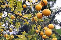 Bitterorange - Poncirus trifoliata 5+ Samen Winterharte Orange