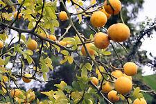 Bitterorange - Poncirus trifoliata 20+ Samen Winterharte Orange