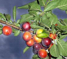 30 Samen Kirschpflaume (Prunus myrobalana), Zwetschge, leckere Früchte, Plum