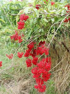 Kamchatka Elderberry - Sambucus kamtschatica - delicious fruits -100 fresh seeds