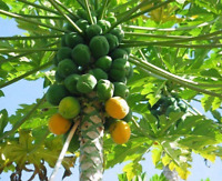 Papaya   Carica papaya   20 Seeds   (Free US Shipping)