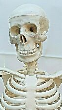 """Educational Human Medical Skeleton Model for Anatomy approx. 33"""" with stand"""