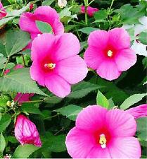 Hibiscus Moscheutos Seed Abelmoschus Hibiscus Flower ~1 Pack 25 Seeds~✿