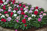 Dwarf little mix madagascar periwinkle vinca rosea flower seeds Catharanthus