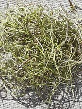 1 Gallon Bag Real Fresh Live Green Spanish Moss for Craft Basket. Garden Craft