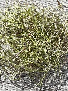 1 Gallon Bag Real Fresh Dried GREEN Spanish Moss for Craft Basket. Garden Craft