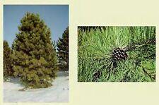 Ponderosa Pine.    100 seeds.  trees, seeds