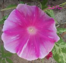 Pink Rayed Star Blizzard - Japanese Morning Glory Seeds - ipomoea Nil - HUGE!