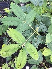 100+ Mimosa Pudica seeds Sensitive Plant Fun For Kids Leaves move! Fairy Garden