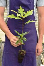 QUERCUS COCCINEA alveolo Quercia scarlatta scarlet red oak pianta plant