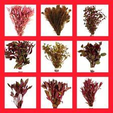 5 Rote Wasserpflanzen, Rotes Wasserpflanzen Set, 5 Rote Aquariumpflanze im Bund