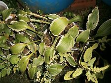 Hostas, Mixed varieties, (Two-44 OZ Containers)