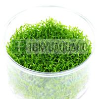 Hedyotis Salzmannii Tissue Culture Cup Freshwater Live Aquarium Plant Carpet Ada