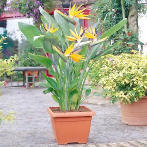 Strelitzia Indoor House Plant - Bird of Paradise Potted Tree In 12cm Pot
