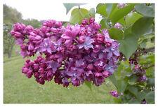 "Syringa vulgaris Paul Thirion-Lilac Plant in 3.5"" pot"