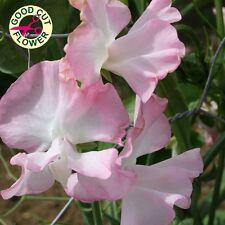 Sweet Pea - Pink Pearl - 25 Seeds