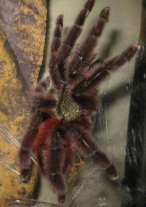 "FREE SHIPPING .75"" Caribena veriscolor Tarantula Pink Toe spiderling LIVE feeder"