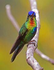 METAL MAGNET Fiery Throated Hummingbird Bird Travel Costa Rica Birds MAGNET
