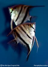 (1) Md. WILD Angelfish Pterophyllum scalare Rare Peru Live Freshwater Tropical