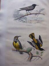 Gravure couleur 19°BUFFON oiseaux:    L'ETOURNEAU DE LA LOUISIANE..LE BALTIMOR