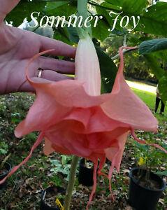 Brugmansia (aka angel trumpet)  .. Sommer Joy .. 2 unrooted cuttings