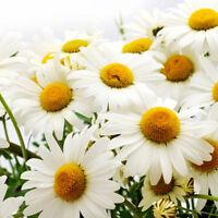 500 Samen Großpackung Wiesen Mutterkraut Margerite / Chrysanthemum U0U5
