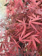 Japanese Maple Beni Ubi Gohon