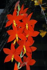 Orchid Species Encyclia vitellina Near Bloom Size