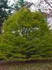 Fagus sylvatica  Asplenifolia - Federbuche Asplenifolia - Farnblättrige Rotbuche