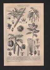 Lithografie 1898: AMENTACEEN. (DIKOTYLEDONEN: Choripetalen.) Korkeiche