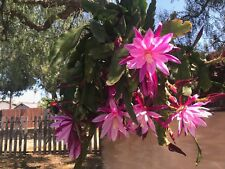 epiphyllum orchid cactus cuttings