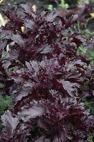 Basil Seeds Purple Ruffles HERB SEEDS 1,000 Seeds