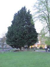 Lawsons or Port Orford Cypress Seed Ornamental Conifer