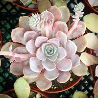 ECHEVERIA diffractens 10 seeds Rare Cactus Succulent Garden Plant Gift Flower